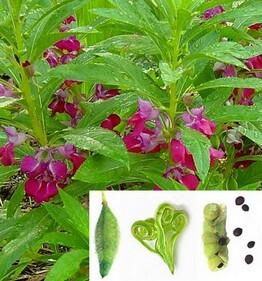 Balsamina begliuomini lisetta o pianta di vetro cuor - Gardenia pianta da interno o esterno ...