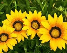 Margherita cuor di fiore for Margherita pianta